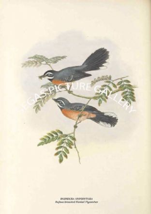RHIPIDURA HYPERYTHRA - Rufous-breasted Fantail Flycatcher